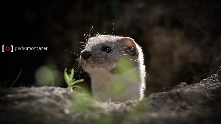 WEASEL BY PEDRO MONTANER